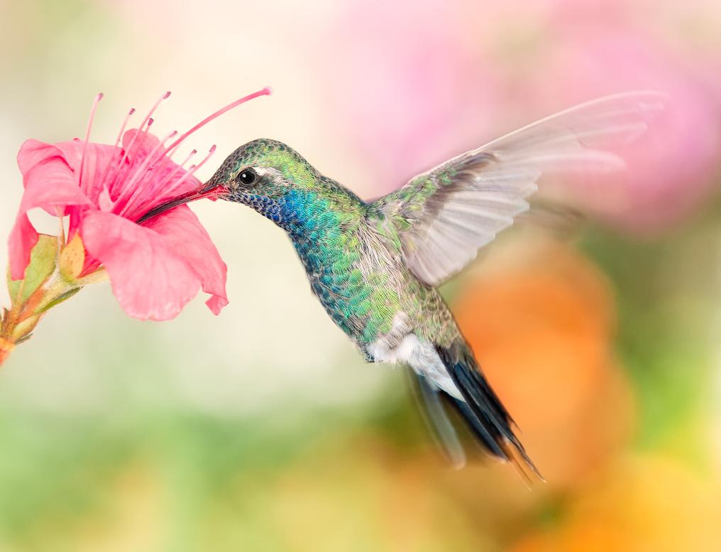 Картинка с колибри
